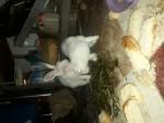 بيع ارانب
