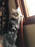 Serbian/German long hair breed cat