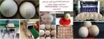 ماكينات طباعة التاريخ واللوجو لاصحاب مزارع بيض المائدة وتجار البيض