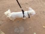كلب لولي فوكس ذكر عمره سنه اليف