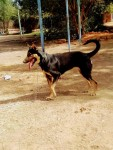كلب جيرمن انثي شور هير ب25 الف عمره سنه وشهرين