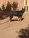 كلب جيرمن الام جنوب افريقيا الاب بيور شور لايت ب١٥مستعجله