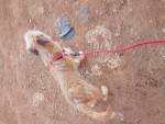 كلب لولي ارمنت مصري