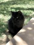 قطه شيرازي العمر سنه سوداء اللون