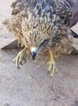 طائر العقاب , عقاب حر الوصف في الصور