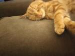 قطة شيرازي مهجنه.