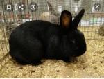 للبيع أرنب أنثى عمره4 شهور نوعها هالندي