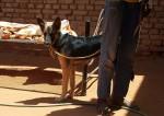 كلب جيرمن هجين قامة قصيرة ....