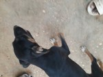 كلب شورت لاين