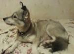 كلب الاسكي كلي كاي مهجن خاسكي مع قوقازي