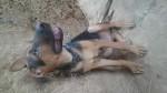 كلب تهجين بوليسي.