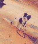 توكــس ..كلبة انثى لولي للبيع