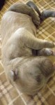 كلاب كين كورسو عمر اسبوعين متوفر ضكور واناث